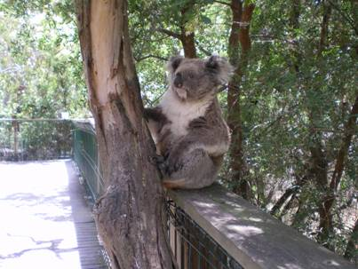 The Koala Conservation Centre