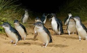 Penguin Experience at philip island