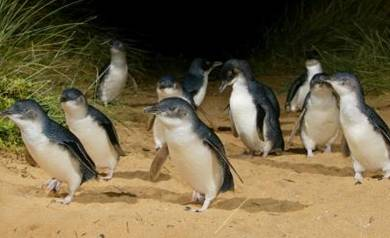 Ultimate Penguin Experience at philip island