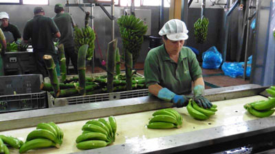 The Banana Packing Factory in Madeira