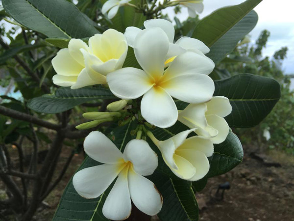 Tahitian Gardenia flower or in their language Tiare Tahiti
