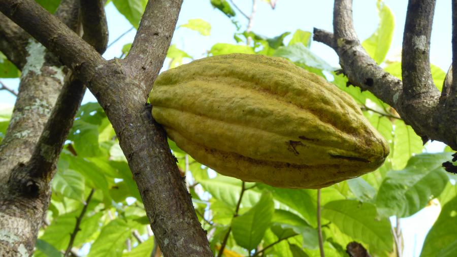 The Fruits of the Cocoa