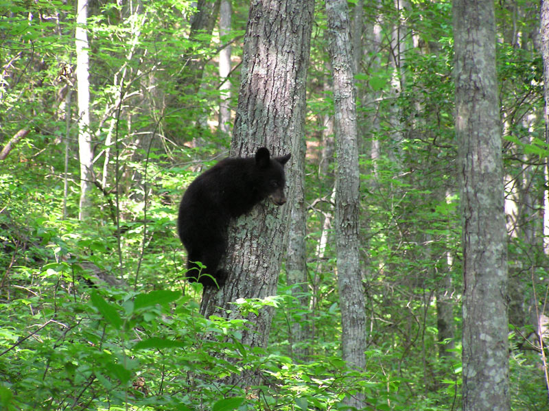 A Bear Climbing a Tree in the Smokies Mountains